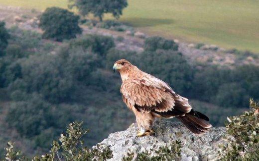 Imperial Eagle – Junta Castilla y León